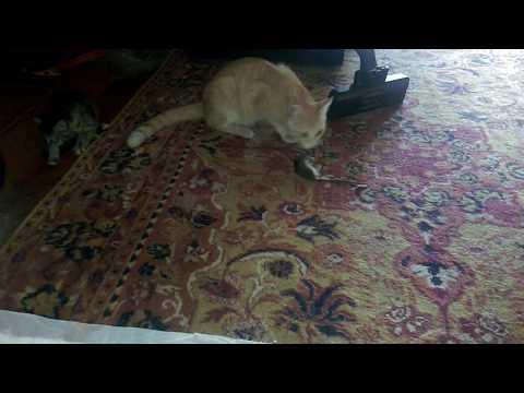 Кошка мама учит котенка как надо ловить мышей
