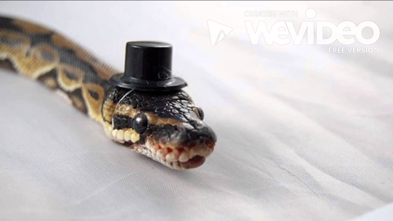 Snakes That Wear Hats - YouTube Cute Ball Python With Hat