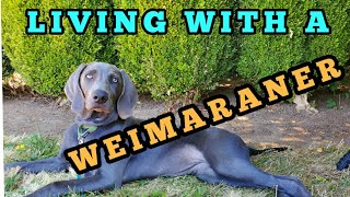 Living With a Weimaraner Dog: Tails, Dew Claws, and Character