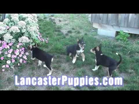 German Shepherd/Blue Heeler puppies- they play nice with cats!