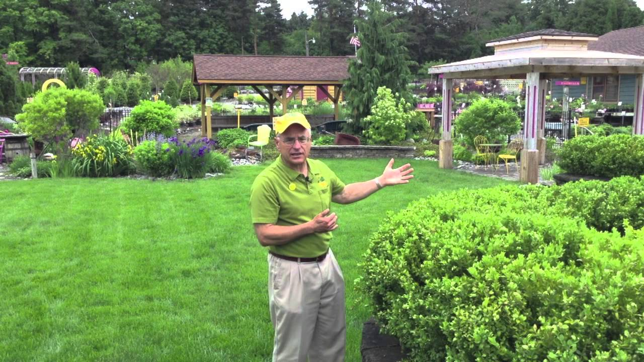 landscaping ideas deer resistant green mountain boxwood youtube