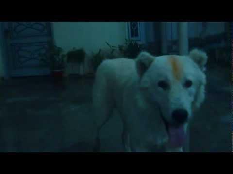 Afghan Kuchi/Koochie Dog