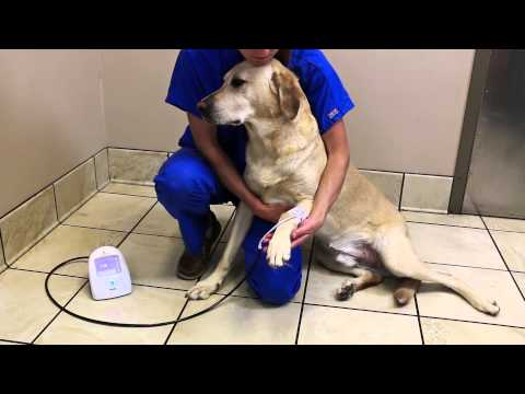 SunTech Vet20: Taking a BP measurement on Cats and Dogs (3 of 4)