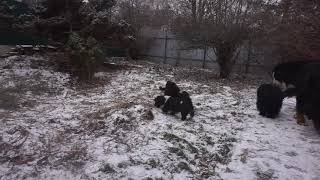Havanese puppies - playtime