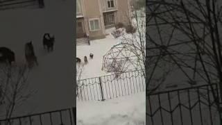 Бродячие собаки в детском саду, Тверь