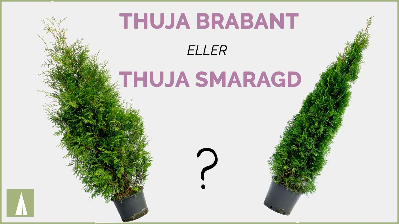 thuja brabant eller thuja smaragd skillnad youtube. Black Bedroom Furniture Sets. Home Design Ideas
