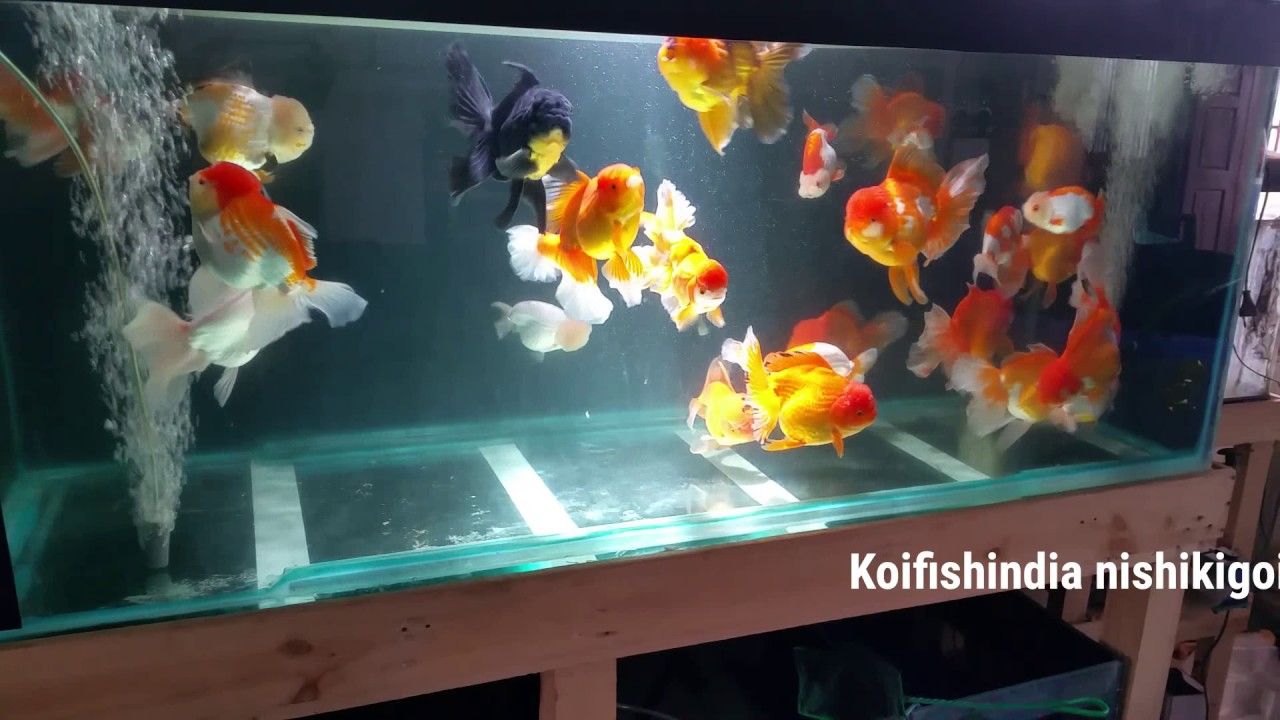 Giant high quality Oranda and Ranchu goldfish for sales in india || Latest  Updates 2018