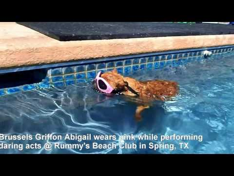 Brussels Griffon Abigail Performs daring feats in the swimming pool while looking very VOGUE