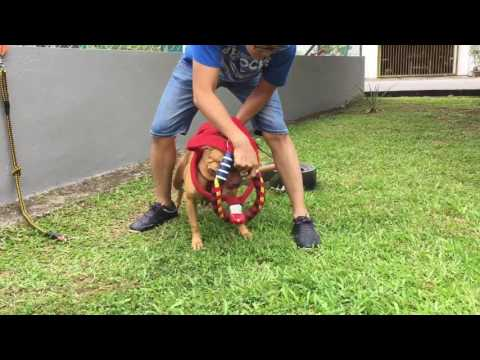 Pitbull training Weight Pulling & Bitework