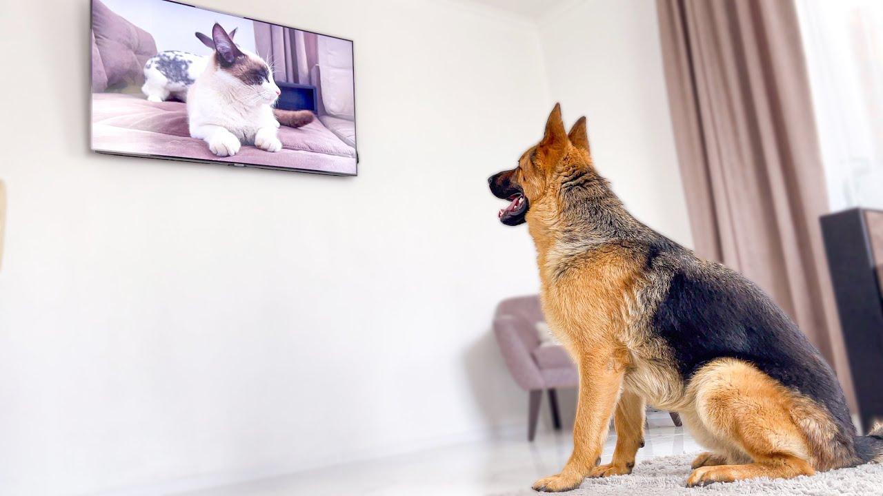 Shocked German Shepherd Recognises Cat On TV!