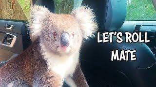 Ozzy Man Reviews: Koala in a Car