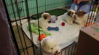Coton Puppies For Sale - 2/18/20