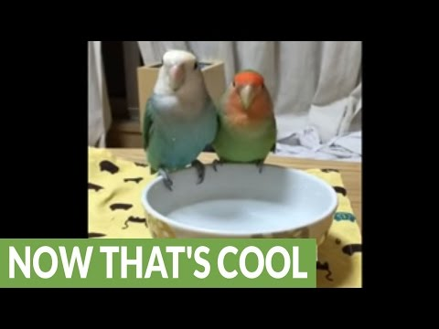 Parrots take bath in adorable little bowl