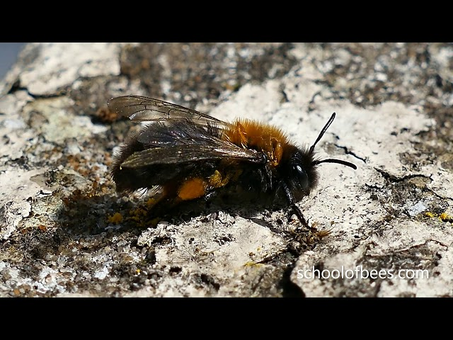 Bee Removing Pollen from Pollen Basket and Washing