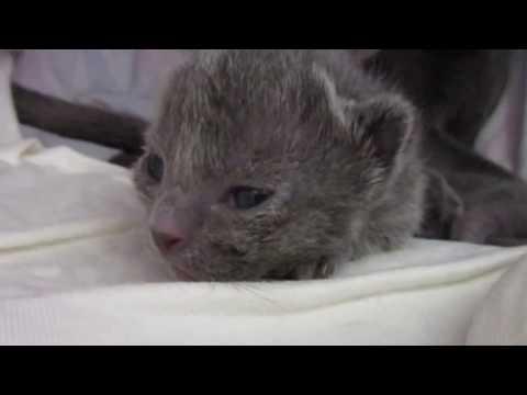 Korat cats are no Russian blue (I), Kitten
