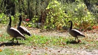 Geese walking in Oak Park Minot,ND video