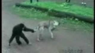 Обезьяна издевается над собакой