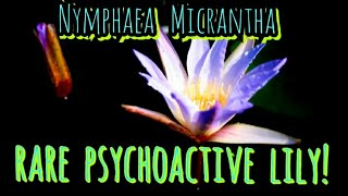 The Rare & Mythically Hallucinogenic - Egyptian Purple / Blue Lotus ( Lily ) Nymphaea Micrantha