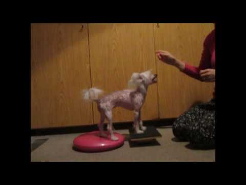 chinese crested - winter tricks