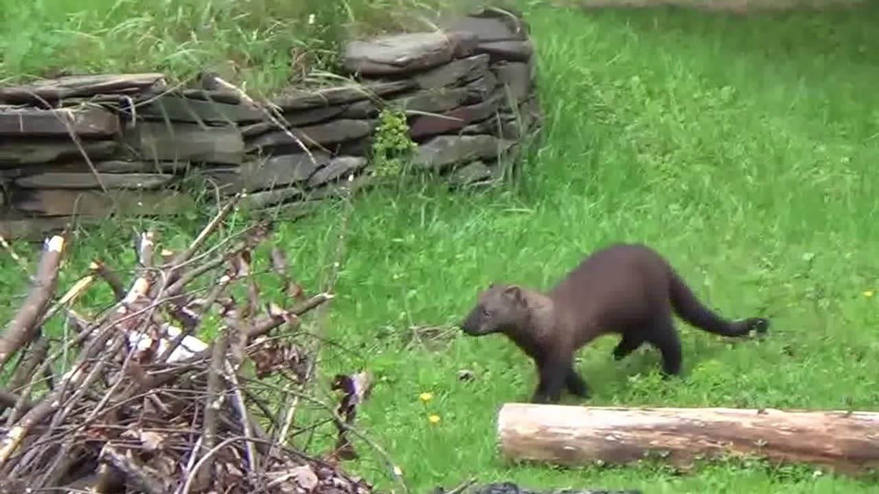 Fisher vs Woodchuck - YouTube