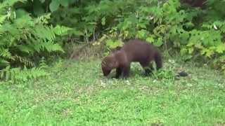 Fisher vs Woodchuck