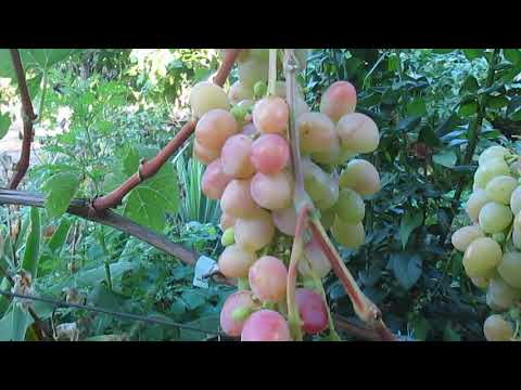Гибридная форма винограда Азалия