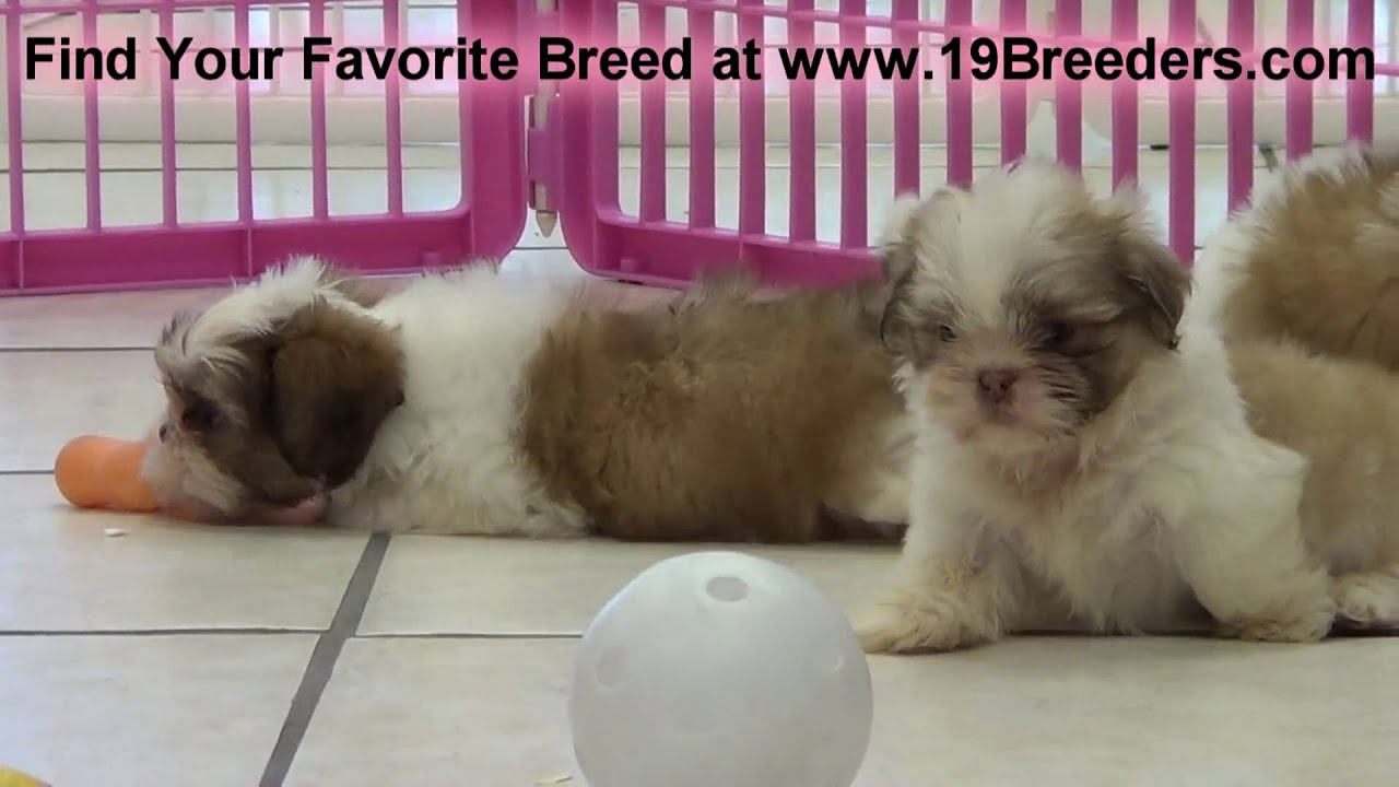 Shih Tzu Puppies For In Saint Petersburg County Florida Fl 19breeders Hialeah