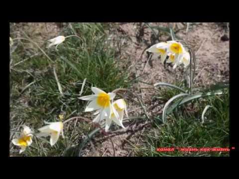 Цветы Казахстана.