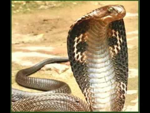 black mamba king cobra tribute youtube