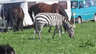 Pyskowice - 24.09.2014 - Zwierzęta cyrku Safari na łące