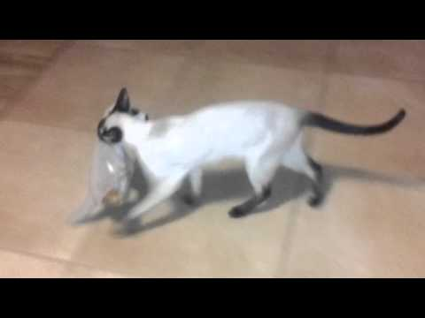 Siamese cat playing with soft meerkat toy