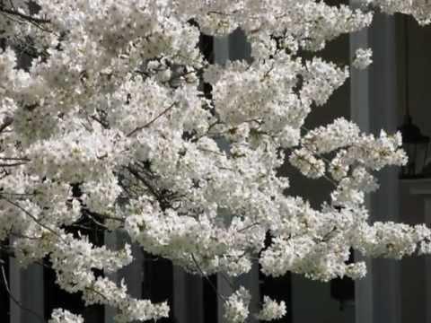 Cherry Blossoms Washington DC (Kenwood)