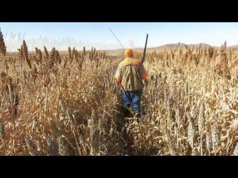 2016 Pheasant Hunting Again At Buffalo Butte Ranch, South Dakota