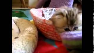 Смешные Котята  Видео Подборка Прикольные Котята