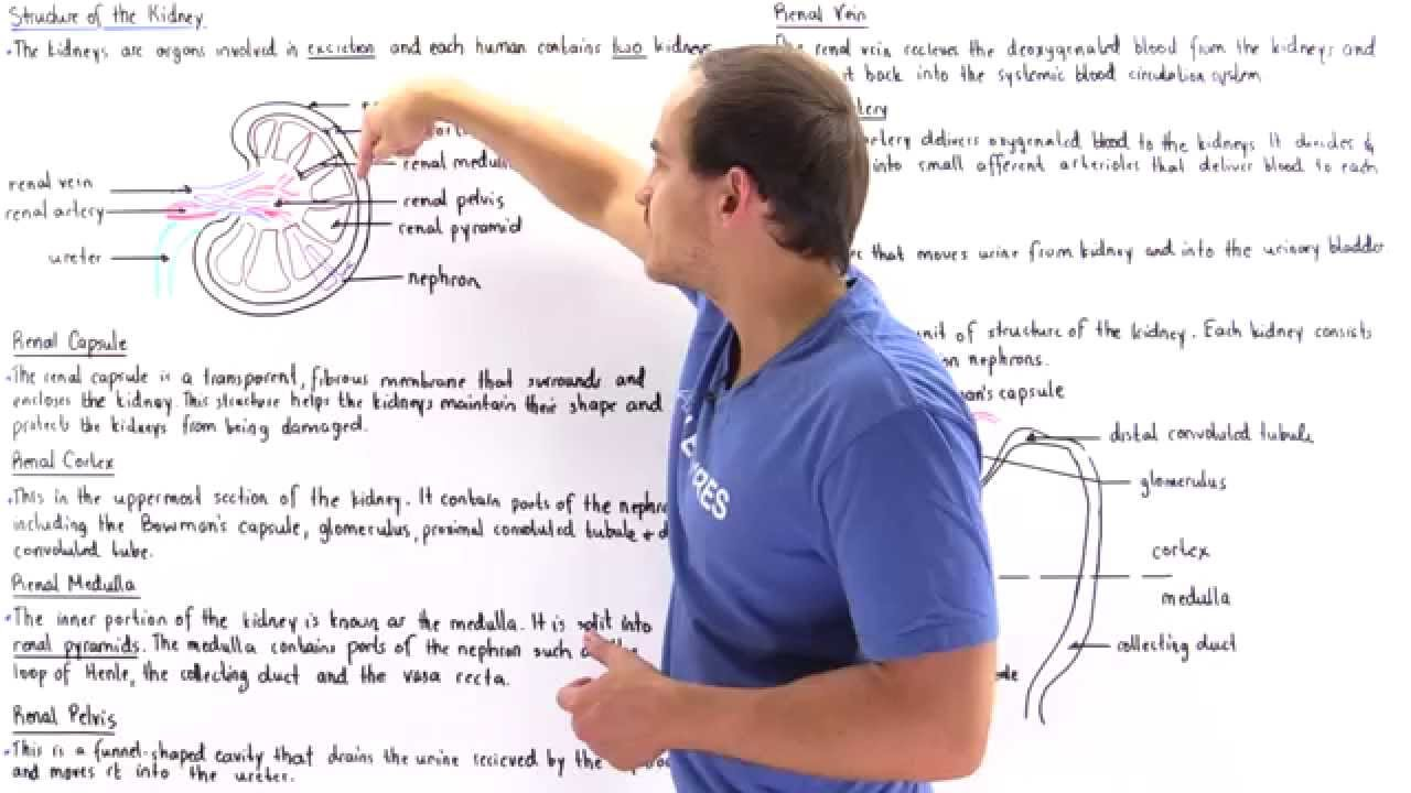 Structure of the Kidney  YouTube