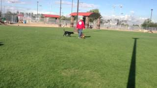 Labrador Retriever Puppy Whistle Training | Sit Means Sit