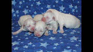 Coton Puppies For Sale 1/20/20