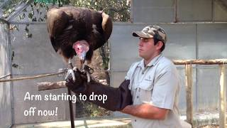 Moholoholo Rehab Centre | Lappet Faced Vultures In South Africa | Teaching A Vulture To Fly