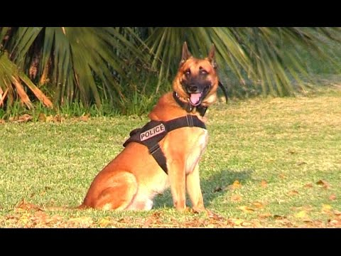 K9 Police Dogs - Attack And CALL BACK Training On Miami Beach