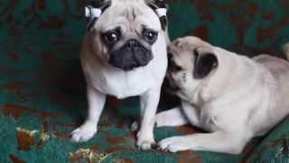 Мопсы Рада и Юна и кошка // Pugs and cat - emotional cute love best friends