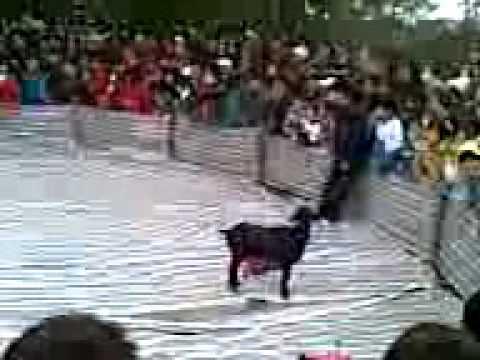 Bịt mắt bắt dê hội Lim 2011