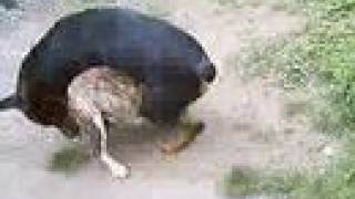 Rottweiler Vs Pit Bull, Brujo Vs Bali (jugando/playing)