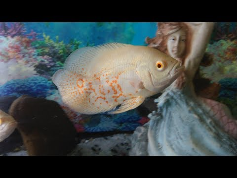aquarium maintenance & setup for oscar fish