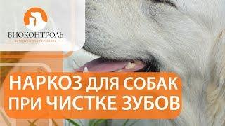 Чистка зубов у собак. 🐕 Проведение чистки зубов у собак под наркозом. Биоконтроль.