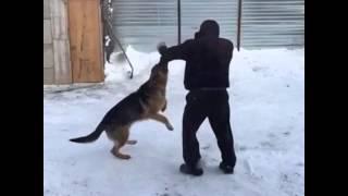 Нападение немецкой овчарки(, 2015-01-26T16:04:11.000Z)
