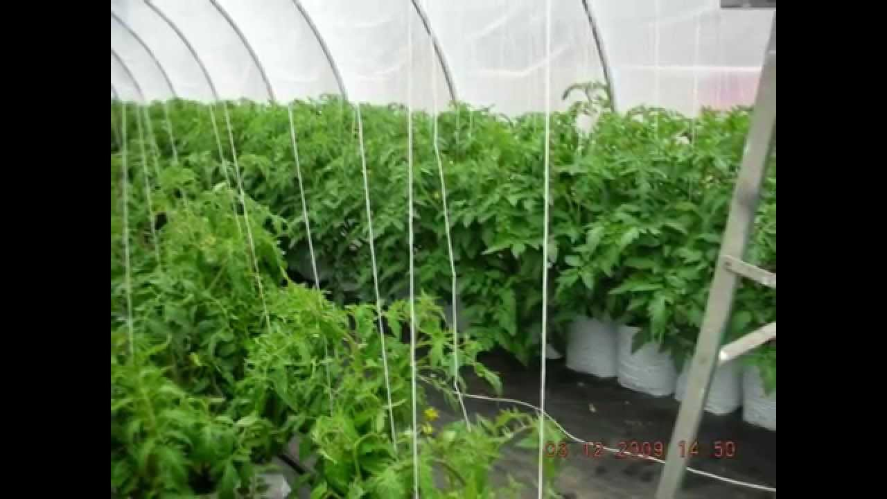 tomatoes grown in 5 gallon poly grow bags 2009 youtube. Black Bedroom Furniture Sets. Home Design Ideas