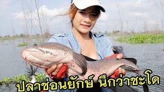 Super strong fight Sneak head Thailand by Mayme fishingEZ โครตปลาช่อนยักษ์...ตัวเท่าปลาชะโด