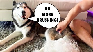 Grooming My Husky At Home! (SHE ARGUES!)