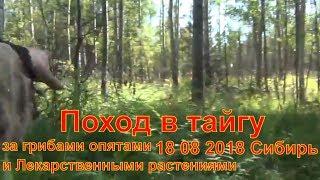 В лес за грибами опятами и Лекарственные растения 18 08 2018 тайга Сибирь выживание охота природа