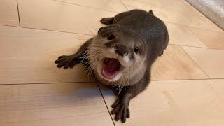 カワウソさくら 床を拭きまくってくれる3匹が可愛い  Otters cleaning the floor